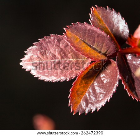 small red leaves on a branch in spring. close-up