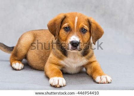 Small, red puppy with beautiful eyes