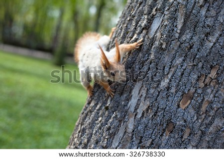 Small red squirrel on a grey big tree