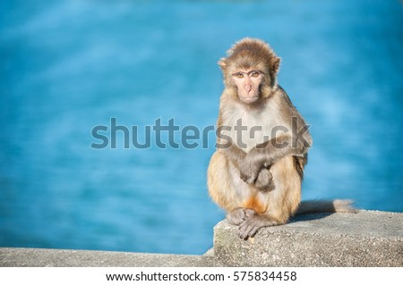 Small rhesus macaque at Kam Shan Country Park