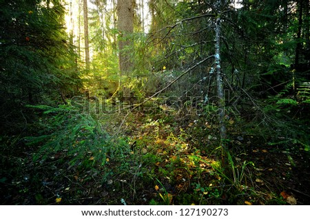 small river in a dark pine forest scene