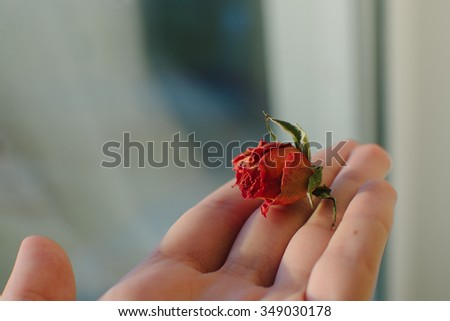 small rose on palm
