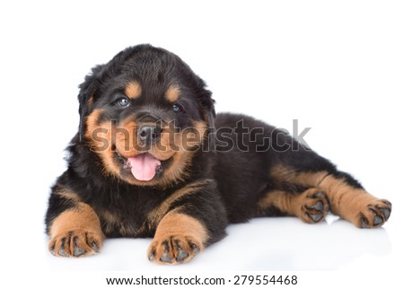 Small rottweiler puppy lying. Isolated on white background - stock photo