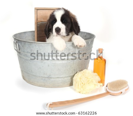 Small Saint Bernard Puppy in a Washtub for Bath Time on White Background - stock photo