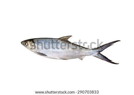 Small Scale Mud Carp Freshwater fish isolated on white background