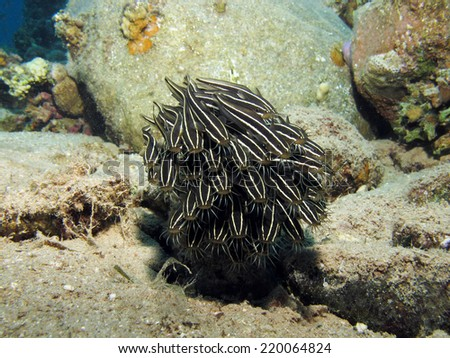 Small school of juvenile striped eel catfish swimming over the sandy bottom - stock photo