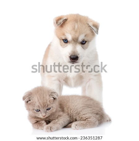 Small scottish kitten and Siberian Husky puppy together. isolated on white background
