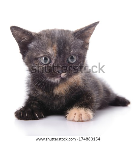 small Scottish kitten isolated on white background
