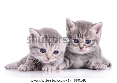 small Scottish kittens isolated on white background