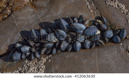 small sea muscles growing on rocks close to the ocean