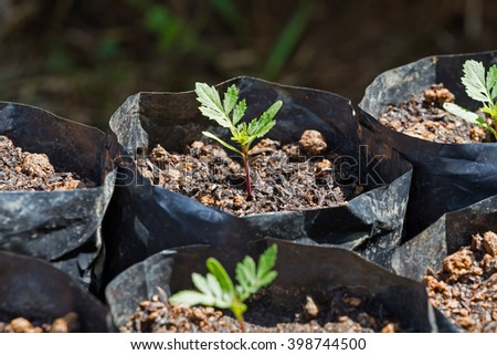 Small seedlings of Cosmos flower in black potting soil, arranged in a row, so be prepared to have grown at the nursery. - stock photo