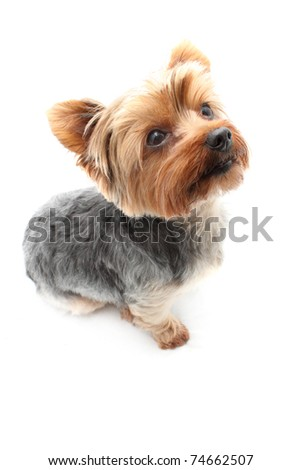 Small shaved Yorkshire Terrier - stock photo