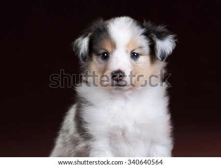 Small Sheltie puppy portrait