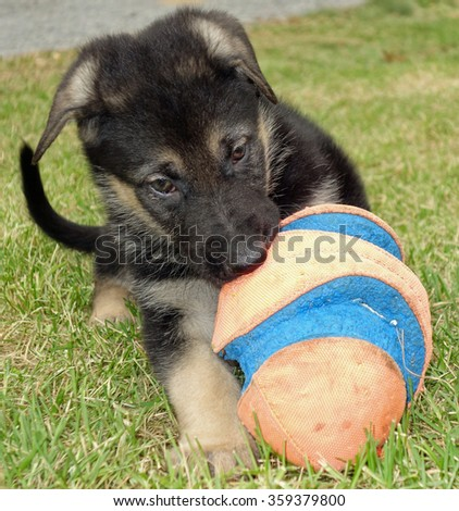Small Shepherd Puppy Dog Playing Ball - Cute black and tan German shepherd puppy dog chewing and playing and biting a ball in the grass. - stock photo