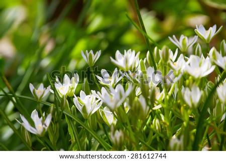 small shrub tender white garden flowers, summer - stock photo