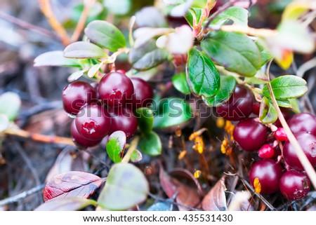 Small shrub with berries ripe cranberries. Polar tundra, deep autumn. - stock photo