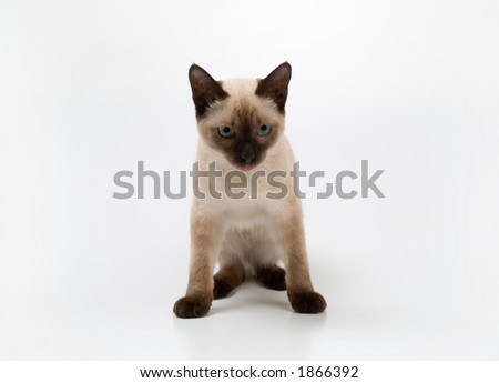 small siamese cat on a white background - stock photo