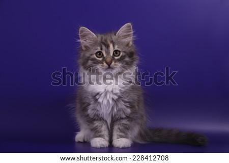 Small Siberian kitten on blue violet background. Cat sitting. - stock photo