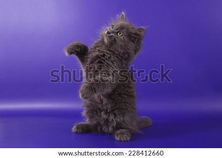 Small Siberian kitten on blue violet background. Cat waving paw. - stock photo