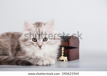 Small Siberian kitten on grey background. Cat lying.