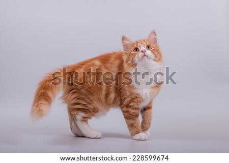 Small Siberian kitten on grey background. Cat stand. - stock photo