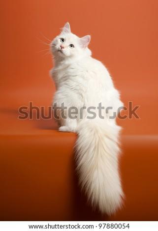 small siberian kitten on light brown background - stock photo
