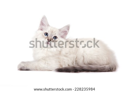 Small Siberian Neva Masquerade kitten on white background. Cat lie with. - stock photo