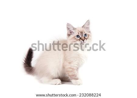 Small Siberian Neva Masquerade kitten on white background. Cat sitting. - stock photo