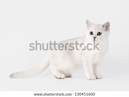 small silver british kitten on white background - stock photo