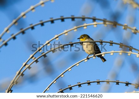 Small silver eye bird amongst razor sharp barbed wire