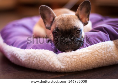 small sleeping French bulldog, puppy - stock photo