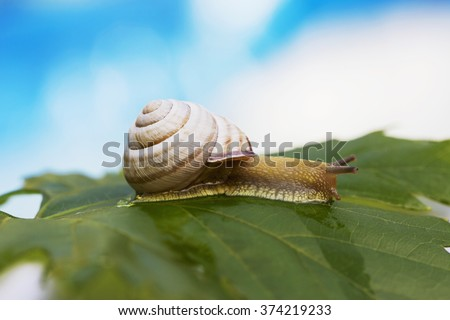 small snail crawling on green grape leaves