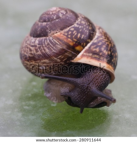 Small snail on the glass table closeup, selective focus, shallow DOF - stock photo