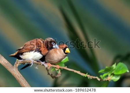 Small songbird on a branch (Amadina) - stock photo