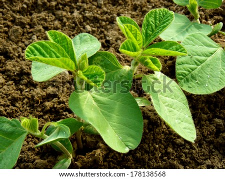 small soy plants growing in a row - stock photo