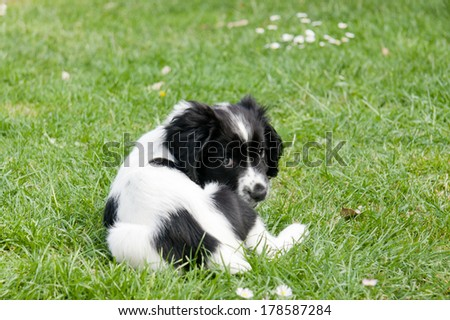 Small spaniel puppy lying on grass outdoors looking towards camera. - stock photo