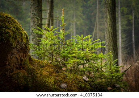 small spruces in the forest, closeup - stock photo