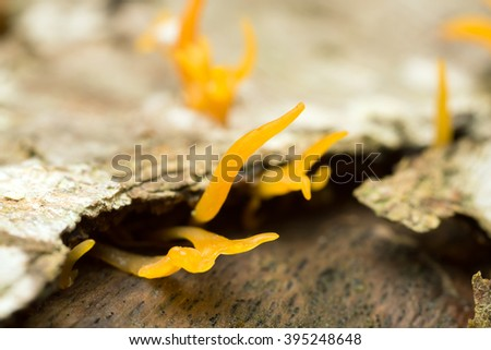 Small stagshorn fungus, Calocera cornea growing on beech wood - stock photo
