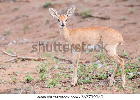 Small Steenbok female walking carefully over open and dry ground - stock photo