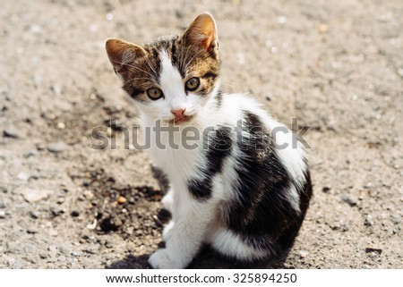 Small street tricolor kitten looking with interest at the camera after a delicious dinner. - stock photo
