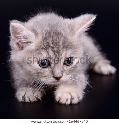 small striped kitten Scottish marble breed. animal isolated on black background - stock photo