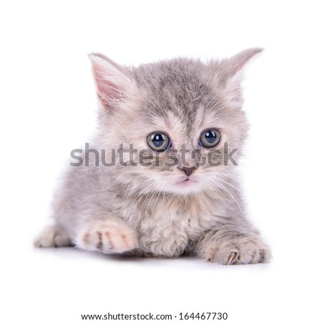 small striped kitten Scottish tabby breed. animal isolated on white background - stock photo