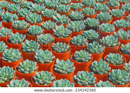 Small succulent ,Thailand - stock photo