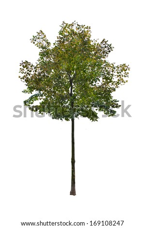 Small summer tree isolated on white.