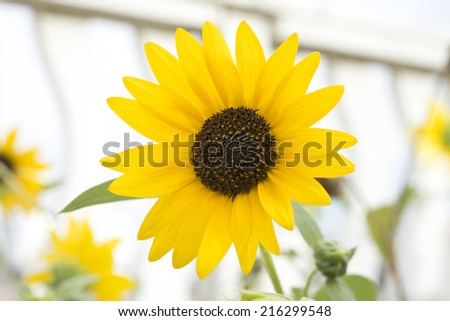 Small sunflower closeup with white fence in the background - stock photo