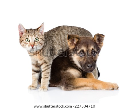 small tabby cat and crossbreed dog together. isolated on white background - stock photo