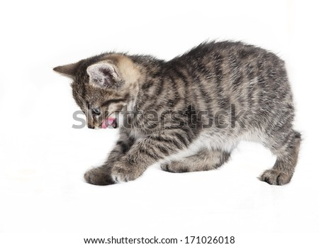 small tabby cat calls, licking with the tongue over mouth, white background, isolated