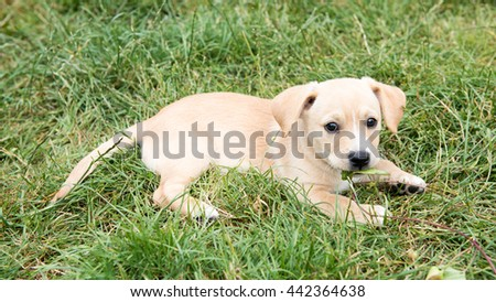 Small Tan Puppy Playing Outside on Green Grass - stock photo