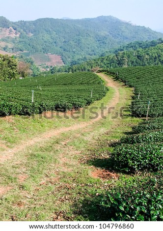 Small tea plantation on the mountain of Northern Thailand - stock photo