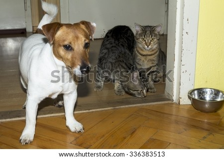 small terrier playing with kittens